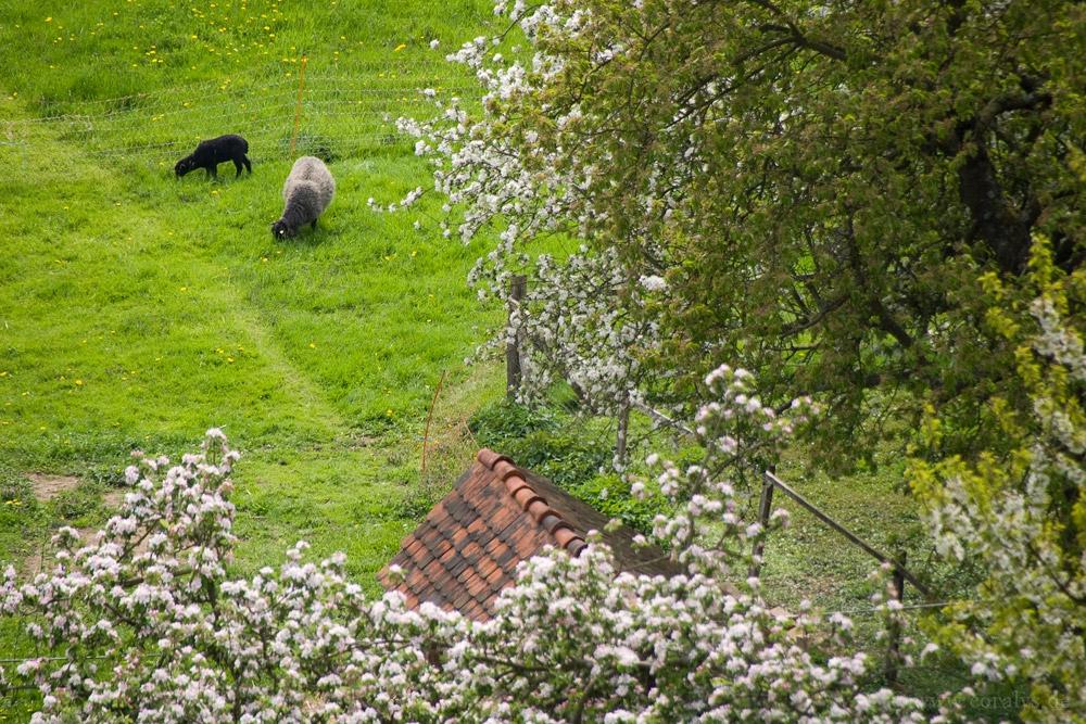 """Schafe auf dem """"Steingut"""""""
